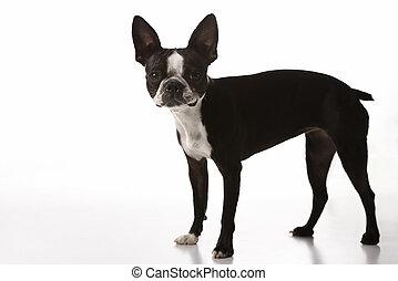 dog., boston terrier