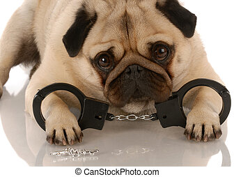 dog breaking the law - pug laying down with handcuffs and...