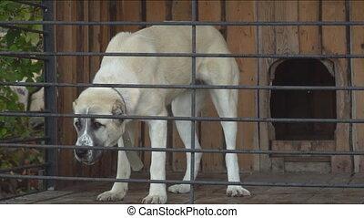 dog breed Alabai in the aviary