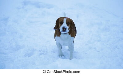 Dog breed beagle. Dog running in the snow