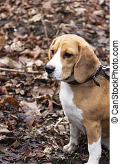 dog breed Beagle in the autumn forest.