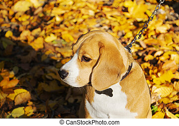 dog breed Beagle in the autumn forest on a Sunny day.