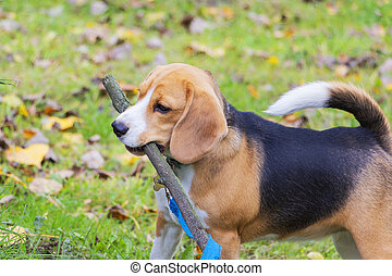 Dog breed Beagle in the woods playing with a stick in his teeth.