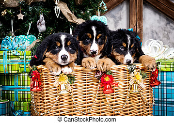 Dog breed Bernese Mountain puppy, Christmas and New Year