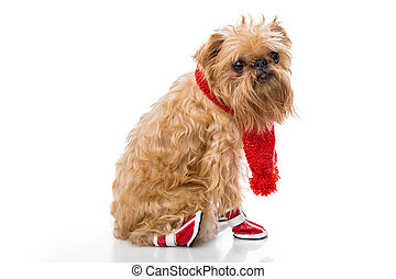 Dog breed Brussels Griffon in a red scarf