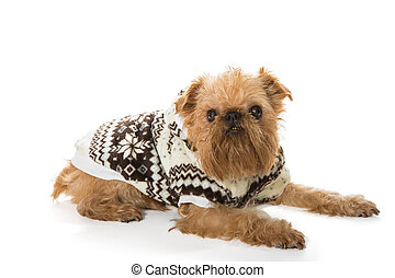 Dog breed Brussels Griffon in a warm jacket, isolated on a ...