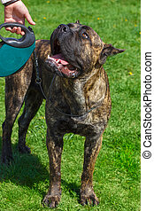 Dog breed Cane Corso Brindle standing on a yellow-green blossoms lawn. Shallow depth of field