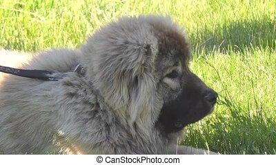 Dog breed Caucasian Shepherd on the walk