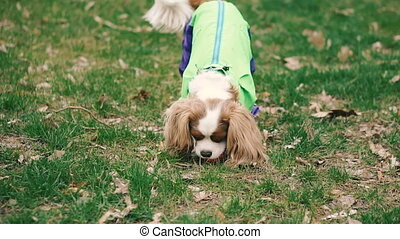Dog breed Cocker Spaniel playing with a ball