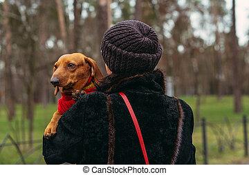 Dog breed Dachshund. Dachshund dog in a knitted sweater.
