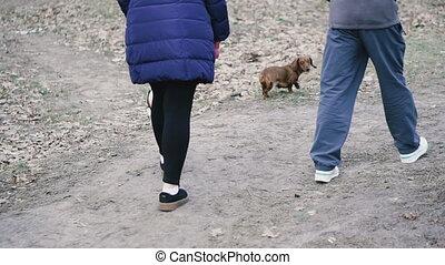 Dog breed dachshund runs through the woods