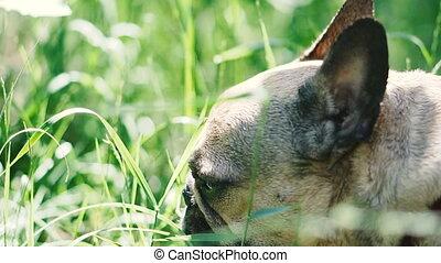 Dog breed French Bulldog eats grass