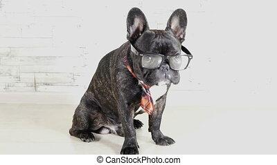 Dog breed French Bulldog in glasses