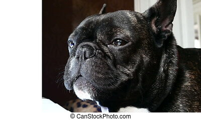 dog breed French bulldog