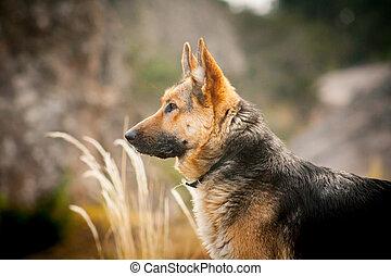 Dog breed German shepherd portrait on nature