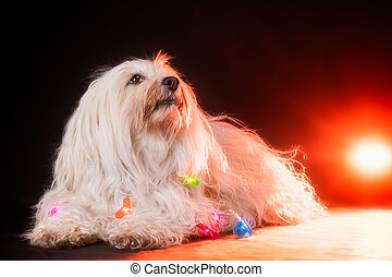 Dog breed Havanese