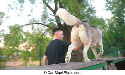 Dog breed husky running on overpass on playground outdoors,...