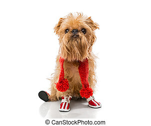 Dog breed in a red knit scarf and boots