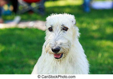 dog breed Irish Wolfhound