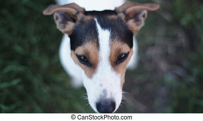 dog breed Jack Russell Terrier looking at the camera and barks