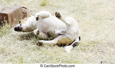 Dog breed Jack Russell Terrier playing in the grass on the...