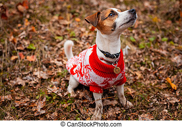 Dog breed Jack Russell Terrier sitting wearing a sweater on the lawn in the park in autumn