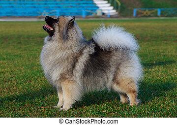 Dog breed keeshond