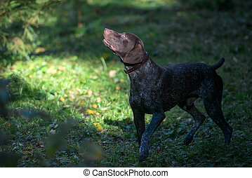 Dog breed Kurzhaar hunting in the forest