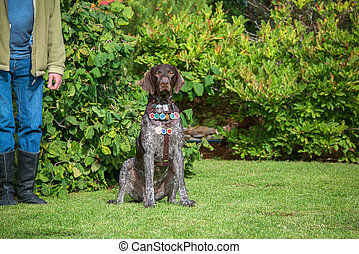Dog breed Kurzhaar with medals for a walk in the autumn park