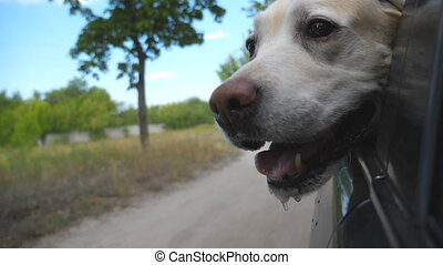 Dog breed labrador or golden retriever looking into a car window. Domestic animal stuck out head from moving auto to enjoying the wind and watching the world. Close up