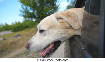 Dog breed labrador or golden retriever looking into a car...