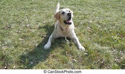 Dog breed labrador or golden retriever lying on the green grass lawn. Domestic animal follows the movement of the camera. Nature at background. Close up