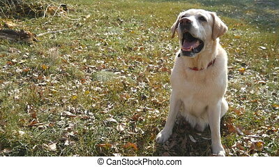 Dog breed labrador or golden retriever sitting on green grass and barking. Domestic animal giving a paw to his owner hand. Male arm caress and stroking head of dog. Close up