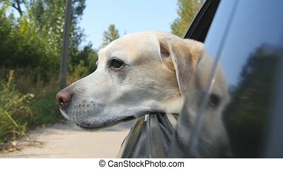 Dog breed labrador or golden retriver looking into a car window. Domestic animal sticks head out moving auto to enjoying the win