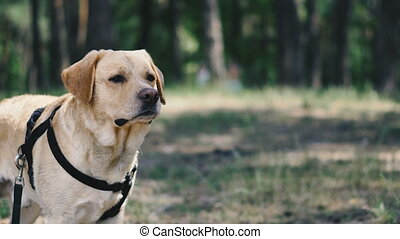Dog breed Labrador. Portrait of a dog sitting in the park