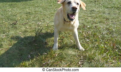 Dog breed labrador retriever sits on green grass and barking. Training of domestic animal. Close up