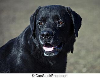 Golden doodle dog with black coat  Black golden doodle dog
