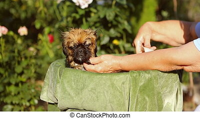 Dog breed Pekingese  Taking a bath