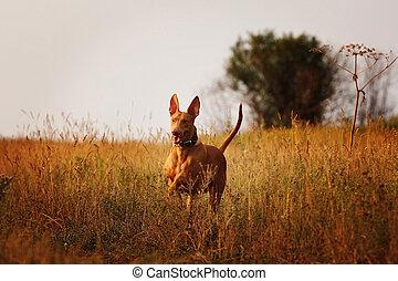 dog breed Pharaoh hound running