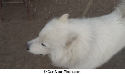 dog breed Samoyed barks - dog breed samoyed barks slou mo