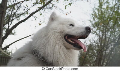 dog breed Samoyed barks - dog breed samoyed barks slou mo