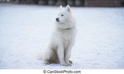 dog breed samoyed playground - dog breed samoyed snow...