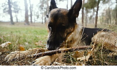 Dog breed shepherd. The dog nibbles the stick.