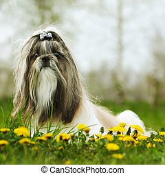 dog breed Shi tzu sitting on the grass in the spring with...