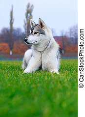 Dog breed Siberian husky