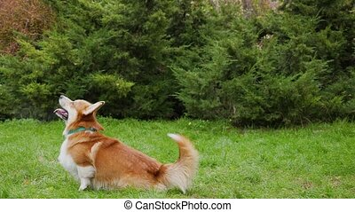 Dog breed welsh corgi pembroke on the lawned park. A reddish white dog with beautiful golden hair stands on its hind legs, jumps and sits down with its mouth open and its tongue sticking out. Side view. Slow motion. Close up.