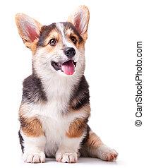 dog breed Welsh Corgi, Pembroke - puppy dog breed Welsh...