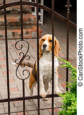 dog breeds Beagle the iron gate in the garden of a country house.