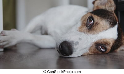 Dog breeds Jack Russell Terrier lays on the floor and falls...