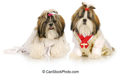 dog bride and groom - cute shih tzu puppies dress up as...